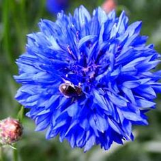 Cornflower, growing plants to attract beneficial insects a  great article from growveg.com...