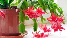 Jade Plants, Cactus Plants, Cactus Flower, Flower Pots, Flower Bookey, Flower Film, Christmas Cactus Plant, How To Grow Cactus, Plantas Indoor