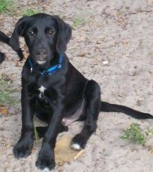 Zeke is an adoptable Labrador Retriever Dog in Saint Petersburg, FL. Zeke is a 14 week old Black Lab/Hound mix. Zeke was adopted a month ago, but he was recently returned to us because the lady that ...