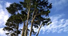 Clouds Echoing Eucalyptus Montara CA  Subscribe to www.smalllifedetails.com for a daily photo with no ads. Drought Tolerant, Garden, Layers, Nature #cloudphotography, #DailyGratitude, #DailyMeditation, #gratitude, #naturephotography, #nofilter, #treephotography, Anne Strasser Blog, Clouds, Daily Surprise, Eucalyptus, Meditation, Nature, Nokia Lumia 822, Photography, screensaver, Sky, Skyline