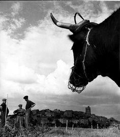 Robert Doisneau   //  La Vache  -  Authezat, Auvergne, 1951.  Also ( http://catalogue.gazette-drouot.com/ref/lot-ventes-aux-encheres.jsp?id=4280737