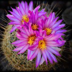 Rózsaszín Cactus Flowers térhez Saija Lehtonen