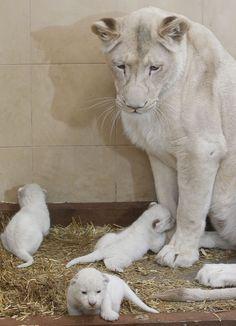 Witte leeuwin met haar baby's