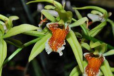 Coelogyne Asperata Culture | Coelogyne asperata - Orchids Wiki