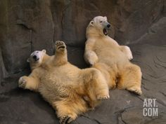 Two Lounging Polar Bears, Omaha, Nebraska Photographic Print by Joel Sartore at Art.com
