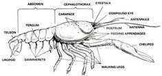 http://www.biologyjunction.com/images/crayfish_exrternal_with_labels.jpg