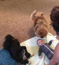 http://ift.tt/2rTgW1Q Pekingese got to meet a baby for the first time and she couldn't stop smiling!