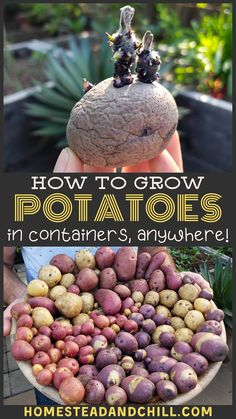 How to Grow Potatoes in Containers - Homegrown potatoes are somethin' special. No grocery store potato can even come close to the rich - Potato Gardening, Planting Potatoes, Container Gardening Vegetables, Container Plants, Organic Gardening, Vegetable Gardening, Urban Gardening, Growing Vegetables, Growing Plants