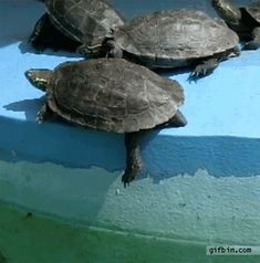 19. This turtle who shamelessly assaulted his fellow comrade