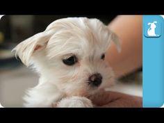 80 Seconds of a Precious Maltese Puppy Getting A Bath - YouTube