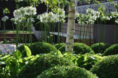 Silver Birch, White Agapanthus and Green Buxus White Gardens, Small Gardens, Outdoor Gardens, Formal Gardens, Vertical Garden Plants, Shaded Garden, White Agapanthus, Boxwood Landscaping, Garden Architecture