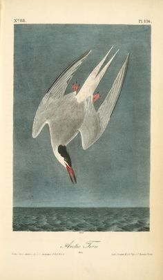 """Audubon Arctic Tern... from Okay For Now by Gary Schmidt. Would have once considered this ugly, but have an appreciation for it now. """"Terrible eye"""""""