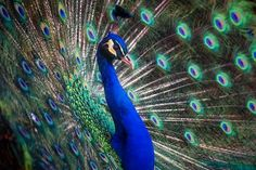 Peacock, Bird, Colors, Colorful Peacock Images, Peacock Pictures, Bird Pictures, Free Pictures, Peafowl, Close Up Photography, Animal Photography, Original Wallpaper, Art Challenge