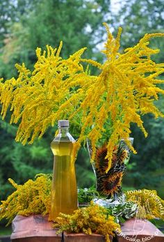 Solidago syrup Syrop z nawłoci Flower Food, Beverages, Drinks, Slim Body, Edible Flowers, Wild Flowers, Natural Remedies, Smoothies, Herbalism