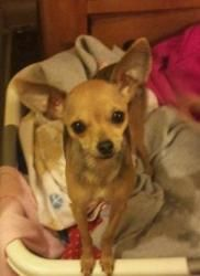 Bridget is an adoptable Chihuahua Dog in Lewisberry, PA. Adorable, charming, sweet, happy, total love bug is how I would describe this pocket size little peanut. Her name is Bridget and she is just s...