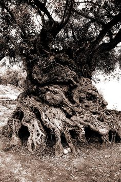 """The Olive tree of Vouves (Greek Ελιά Βουβών) (by Nick D2008, via Flickr) is an olive tree in the village of Ano Vouves, Crete, Greece. It is probably one of the oldest olive trees in the world and still produces olives today. The use of tree ring analysis has proven the tree to be at least 2000 years old. On the other end of the scale, scientists from the University of Crete have estimated it to be 4,000 years old. The trunk has a perimeter of 12.5 m and a diameter of 4.6 m."""""""