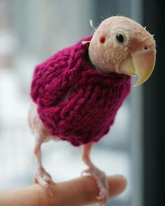 Rhea the Naked Birdie, A Tiny Lovebird Who Lost All Her Feathers Keeps Warm in Hand Knitted Sweaters Funny Birds, Cute Birds, Cockatiel, Budgies, Beautiful Birds, Animals Beautiful, Funny Parrots, Hand Knitted Sweaters, Knitting Sweaters