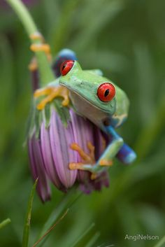 Wild life: tree frog in the Amazon.  Amazing color in Nature