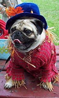 """""""Scare Pug!""""    Tucker, a Pug from Hammondsport, NY    loribax says:    Tucker is ready to scare away spooks!"""