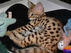Eight week old Savannah Cat