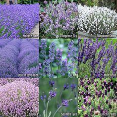 1 or 4 Sets x  Lavender Flower Herb SEEDS - Hidcote, Ellagance Sky & Snow, Lady, Munstead, Rosea, Spanish Eyes, Sancho Panza, Italian,Vera