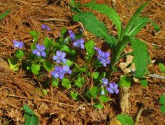 Canadian Needle Nana: Violets For Victoria Day