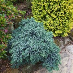 Juniperus squamata 'Blue Star' Planted 19 years ago and kept to size by occasional careful pruning this Juniperus squamata 'Blue Star' is a beautiful compact slow growing dwarf conifer with steel-blue coloured foliage. The plant forms a compact, slightly craggy bun shape with tight packed stiff prickly needle-like foliage giving it a very distinctive texture.