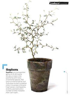 ...sophora plant (tr