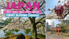 Hanami (cherry blossom / sakura viewing) trip to Japan. The post Hanami Trip to Japan before COVID19 Pandemic appeared first on Alo Japan. Cherry Tree, Cherry Blossom, Hidden Garden, Sapporo, Nara, Goldfish, Japan Travel, Kyoto, Tokyo