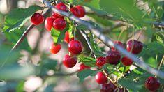 En ny insekt som nu sprider sig över landet hotar att göra stor skada inom svensk bärodling. Även blåbär och hallon i skogen kan påverkas. Cherry, Cherries