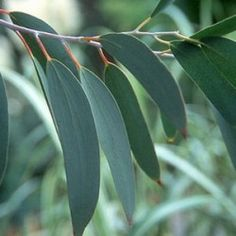 Eucalyptus leaf for flu, colds and coughs