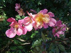 'Mutabilis ' Rose Photo