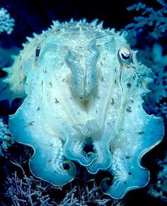 Indonesian cuttlefish