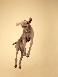 William Wegman | Panopticon Gallery