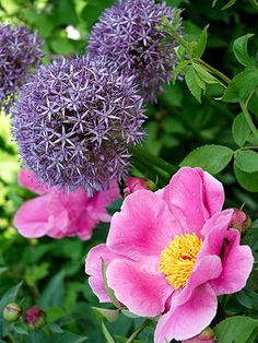 Enjoy Late-Spring Combos - Peonies and giant alliums, e.g.