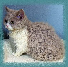Russia - yesterday, today and tomorrow: Russian cats, there are some peculiar breeds (Gatos Russos, algumas raças interessantes) Grey Cat Breeds, Fluffy Cat Breeds, Types Of Cats Breeds, Laperm, American Wirehair, Curly Haired Cat, Russian Cat, Hypoallergenic Cats, Cornish Rex Cat
