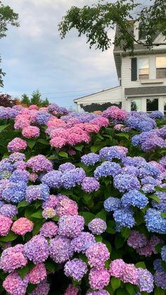 Hortensia Hydrangea, Hydrangea Care, Hydrangea Flower, Hydrangeas, Hydrangea Landscaping, Front Yard Landscaping, Beautiful Flowers Garden, Beautiful Gardens, Australian Native Garden
