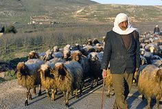 Israel, Golan Heights,  shepherd with his sheep on the hillside