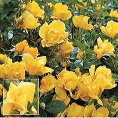 Yellow Simplicity Hedge Rose- i love the shape of hedge roses. A floribunda, it sets huge clusters of big double flowers, each boasting 12 to 16 petals of fade-proof color. Expect heavy and frequent cycles of bloom all summer long! Rose Hedge, Florida Gardening, Shrub Roses, Rose Photos, Tea Roses, Beautiful Roses, Beautiful Things, Plant Care, Yellow Roses