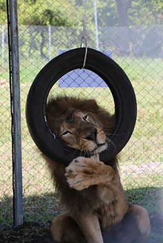 Former Circus Lion Enjoys His Brand New Toy and zoominfo community, and pets qartulad gaxmovanebuli animaciebi Animals And Pets, Baby Animals, Funny Animals, Cute Animals, Exotic Animals, Big Cats, Cats And Kittens, Cute Cats, Cats Bus