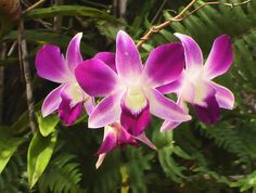 Lovely, lovely orchids in Thailand in Nov 2004