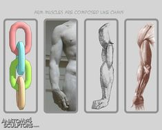 Anatomy Reference Anatomy For Sculptors - proportion calculator, store, services, video, links… Anatomy Body Parts, Arm Anatomy, Anatomy Study, Anatomy Drawing, Anatomy Reference, Human Anatomy, Drawing Reference, Gross Anatomy, Body Drawing