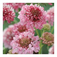 Scabiosa atropurpurea, 'Salmon Queen' - bright salmon-rose flowers, strong stem and long-lasting flowers for fieldgrown cut. Cut Flowers, Spring Flowers, Rose Flowers, Scabiosa Flowers, Dahlias, Flower Seeds, Flower Pots, Seed Catalogs, Growing Roses