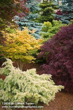1203838 Japanese Maples among dwarf conifers [Acer palmatum cvs.]. Jim Swift, Bellingham, WA. © Mark Turner