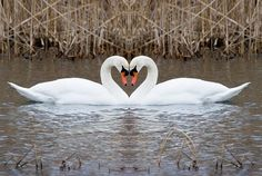 swans: symbol of eternal love