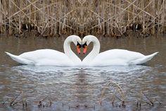swans:  symbol of eternal love