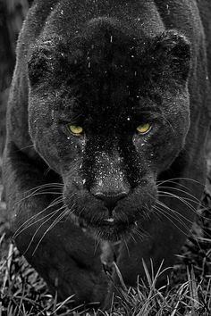 Black Jaguar by Colin Langford