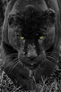 Black JaguarbyColin Langford