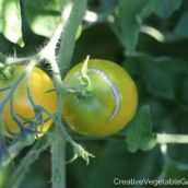 The benefits of removing your tomato plant suckers include earlier fruit, more tomatoes, tastier tomatoes, and more! Read all the reasons right here. Tomato Trellis, Tomato Cages, Tomato Garden, Vegetable Garden, Tomato Vegetable, Growing Tomatoes In Containers, Grow Tomatoes, Yellow Tomatoes, Pruning Tomato Plants