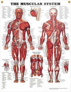 Muscular System: Male anatomy poster shows anterior and posterior views of the human male muscles.